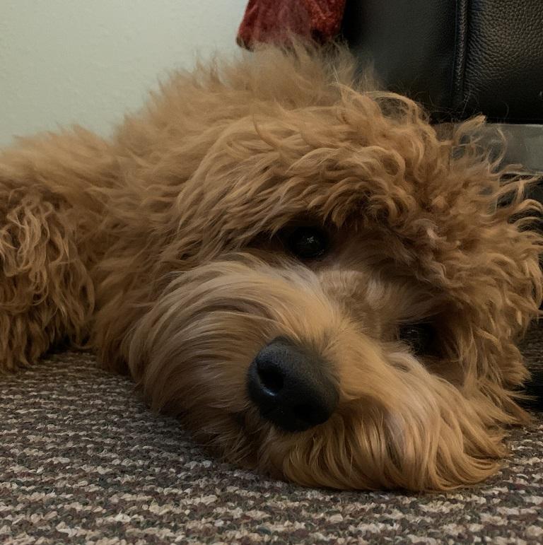 Raso - Therapy Dog